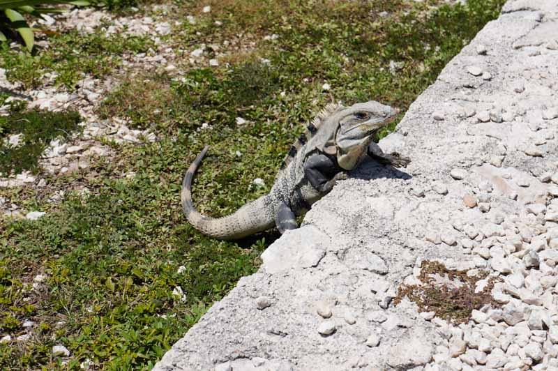 tulum-iguanas-2