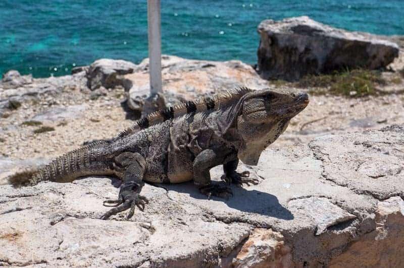 tulum-iguanas-4