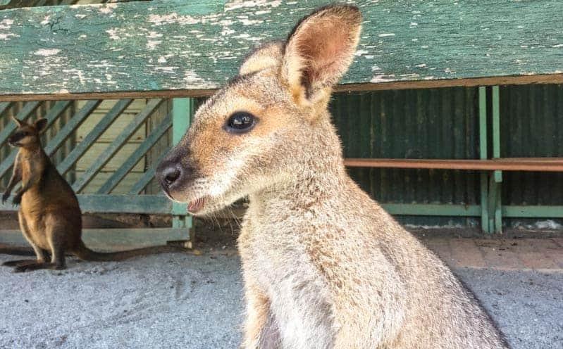 canguro-wallaby-australia-3