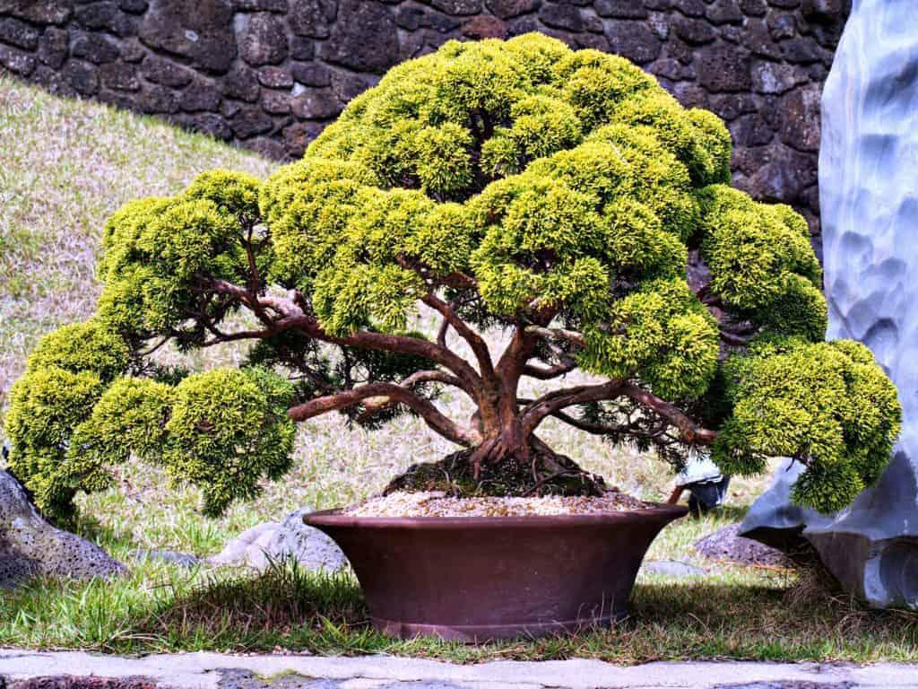 Bonsai en Spirited Garden, Jeju